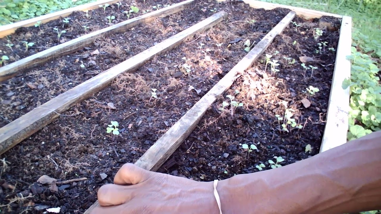 Download How To Thin Your Fall Seedlings - Radish, Turnips & Beets! - Gardening For Beginners & Experts!