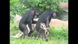 Смешные обезьяны, бесплатные видео приколы про кошек, животный прикол