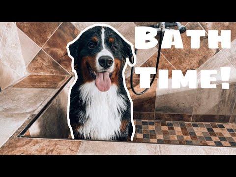 Giving A Bernese Mountain Dog A Bath  | Part Two