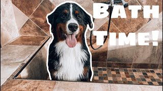 Giving A Bernese Mountain Dog A Bath  | Part Two