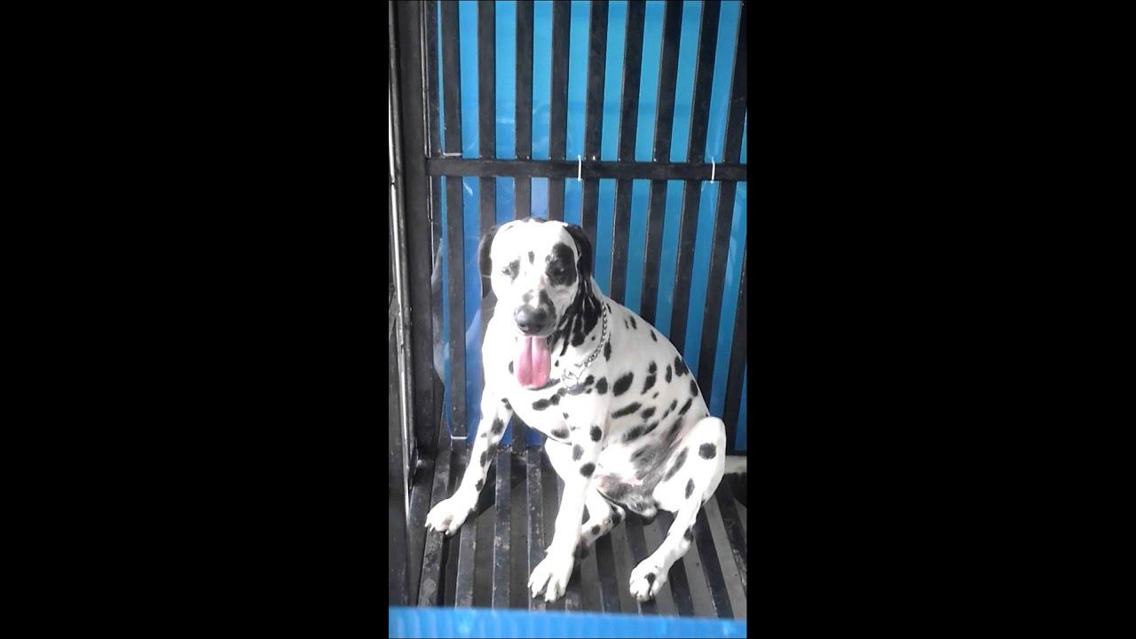 46++ Anjing dalmatians terupdate