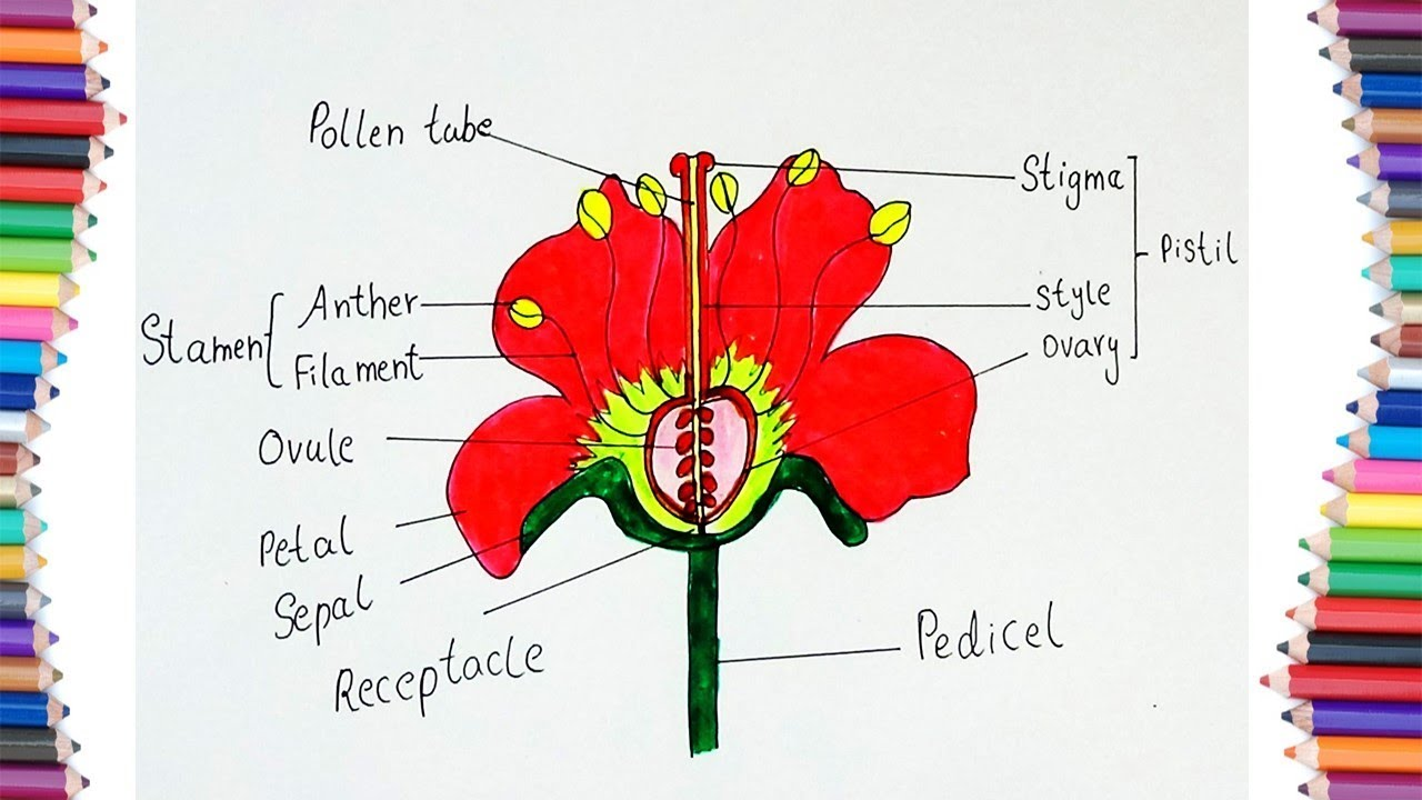 How To Draw  U0026quot  Parts Of A Flower U0026quot