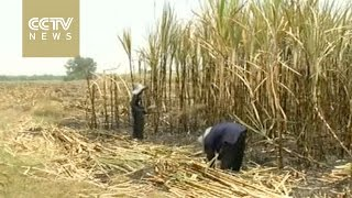 Severe drought hurts Thailand's agriculture