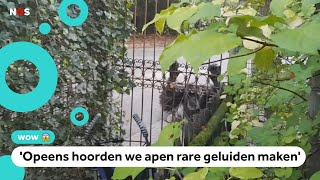 Chimpansees ontsnapt in DierenPark Amersfoort