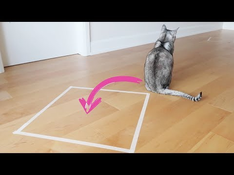 Abyssinian cat & the SQUARE TAPE TRICK