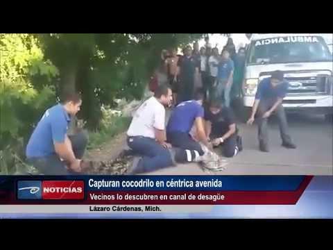 Lázaro Cárdenas, Mich. Capturan cocodrilo en céntrica avenida