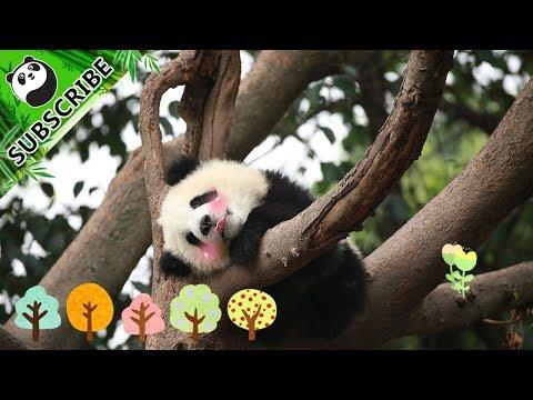 【Panda Theme】Pandas Love Climbing Trees! 20170903 | iPanda
