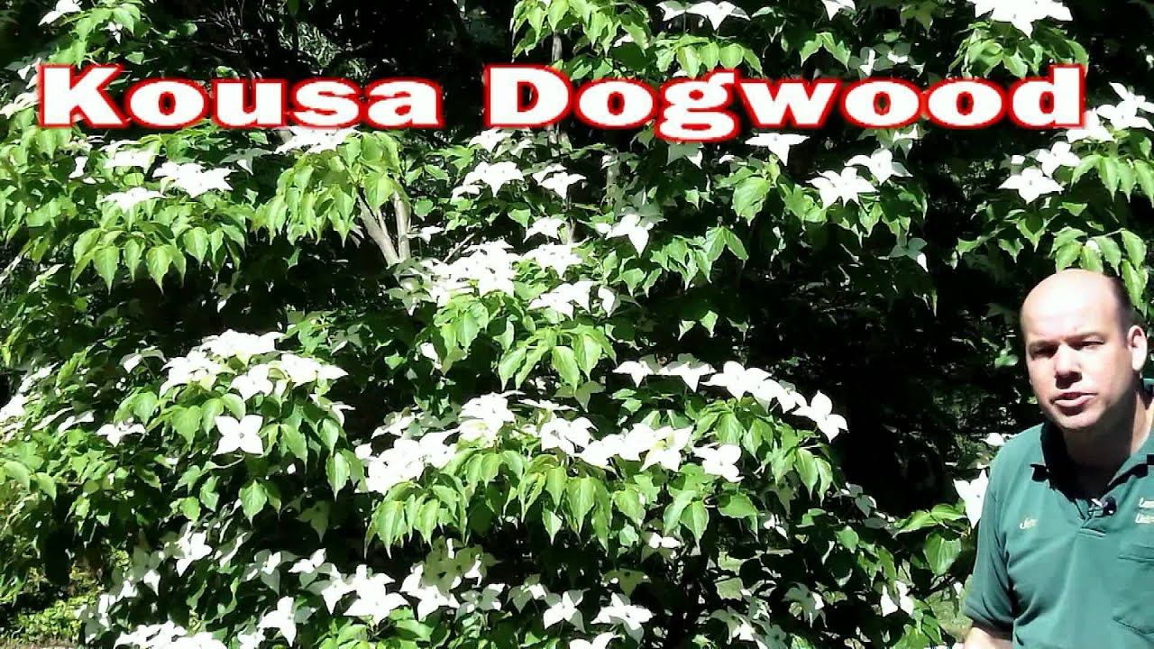 Kousa dogwood cornus kousa small flowering tree white flowers kousa dogwood cornus kousa small flowering tree white flowers youtube mightylinksfo