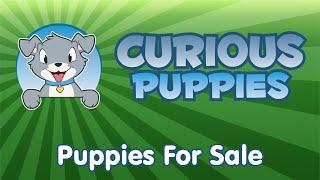 Newfie X Golden Retriever Puppies For Sale   Call: 9053938827