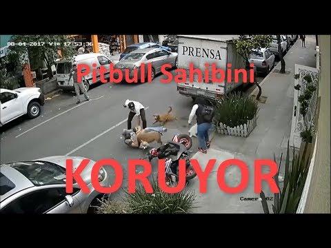 download Zinciri Kıran Pitbull Süs Köpeğine Saldırdı (Dövüş Çıktı)