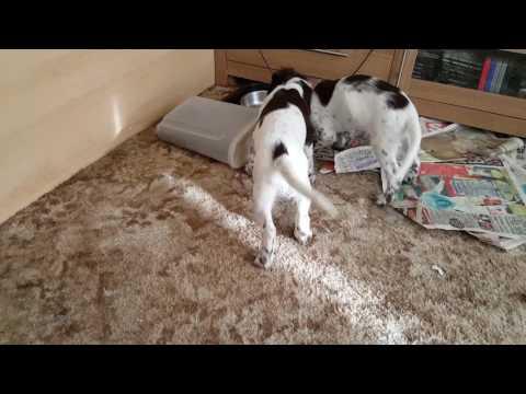 Sam abd Jynx up to mischief lol.  ESS English Springer Spaniel puppies