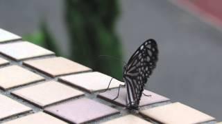 萬里國小103年11月17日琉球青斑蝶羽化.
