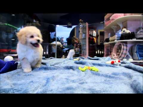 Male She-Poo Puppy for sale in Boca Raton