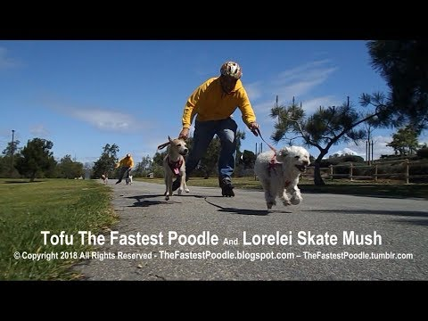 Dog Mushing with Little Dogs on Rollerblades – Tofu The Fastest Poodle and Lorelei