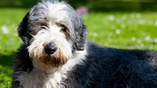 Bearded Collie  Dog Breed  Pet Friend