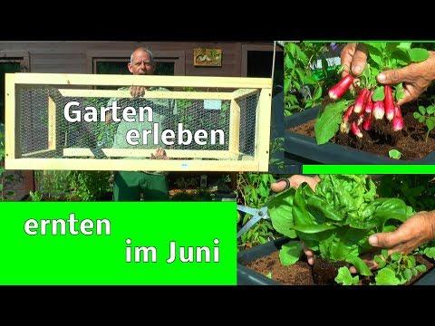 Garten Ernte Garten erleben Garten sehen im Juni was wächst im Hochbeet und wird gepflanzt