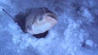 видео: Рыбалка зимняя толстолоб на косынку под лед