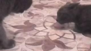 Маленькая кошка не даёт еду другим