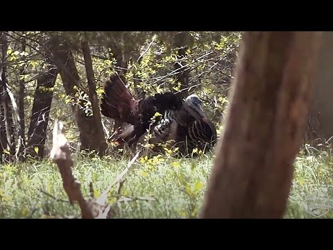 RUN AND GUN 101 (Turkey Hunting Instructional on Eastern Gobblers in the Hardwoods)
