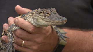 RAW VIDEO: Alligator found outside Giant Eagle in Shaler