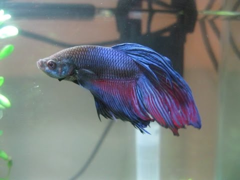 How to Treat a Betta Fish with Fin Rot