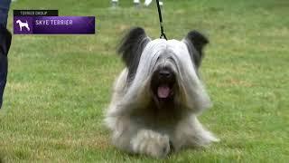 Skye Terriers | Breed Judging 2021