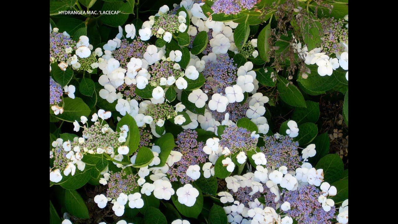 hydrangea macrophylla 39 lacecap 39 youtube. Black Bedroom Furniture Sets. Home Design Ideas