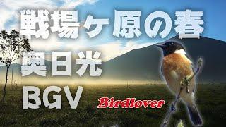 野鳥撮影・ 【奥日光・BGV】戦場ヶ原の春・野鳥動画・野鳥のさえずり BGV、環境音、リラクゼーション、作業用BGM