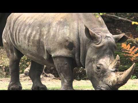 Rhinos; The Five Species