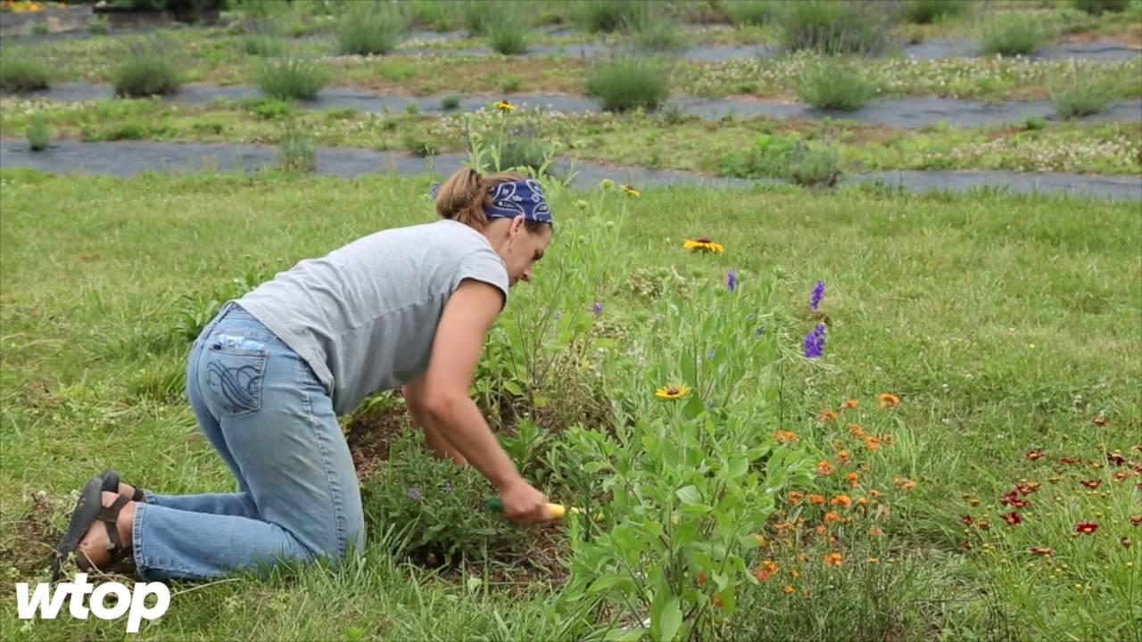 Inside a local female-run lavender farm