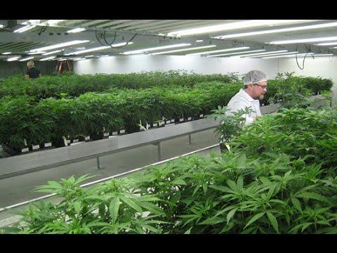 Indoor Marijuana Cultivation - full movie