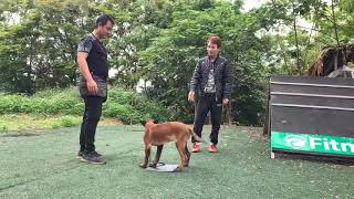 Hướng dẫn tự huấn luyện chó tại nhà những động tác cơ bản ĐỨNG NẰM NGỒI-ĐI CẠNH CHÂN CHỦ - Phần 1.