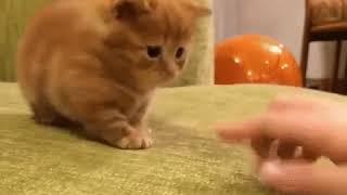 Котик-короткие лапки