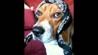 I Am Bob I Am Beagle I Wear Humanz Bandana
