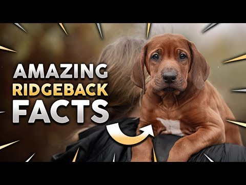 Top 10 RHODESIAN RIDGEBACK Facts!