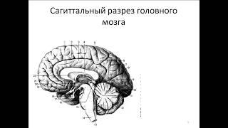 Общий обзор головного мозга. Выход 12 пар черепных нервов