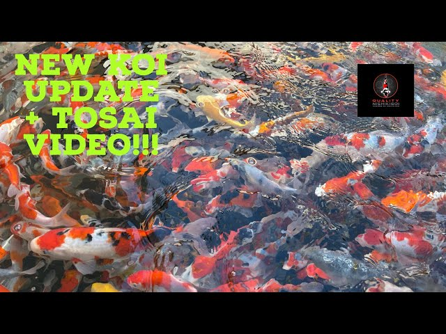 NEW KOI UPDATE AND LOOK AT TOSAI!!