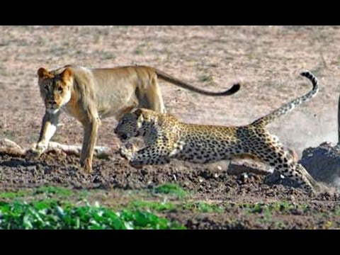 Unlikely Friendship Lion and Leopard Together in the Wild - YouTube