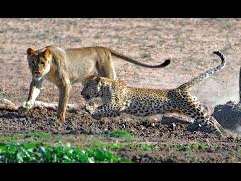 Leopard vs Lion Pride (Leopard has no respect for lions) thumbnail
