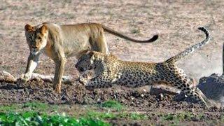 leopard vs lion pride leopard has no respect for lions