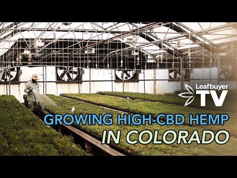 Growing High-CBD Hemp – A Look into the United States Hemp Industry