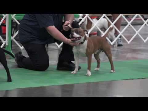 C0002 - Staffordshire Bull Terriers at Grayslake 6/18/2016