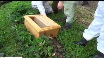 Mehiläisparvi maasta laatikkoon