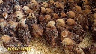 POLLITAS PONEDORAS DE 3 SEMANAS DE EDAD - Three week old chickens