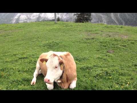 The cow in switzerland الابقار في الريف السويسري