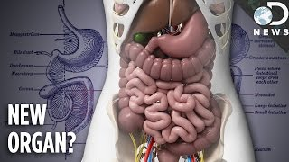 You Now Have A New Organ: Meet The Mesentery!