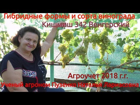 Виноград кишмиш 342 или венгерский (Пузенко Наталья Лариасовна)