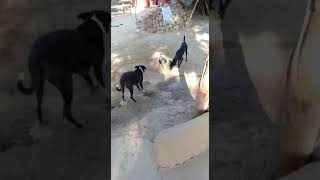 Rooster & dogs fight / dogs fight with rooster / kukar & dog fight / ککڑ اور کتا کی لڑائی