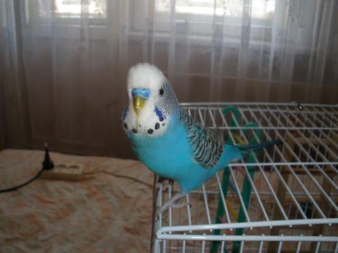 Мой говорящий волнистый попугай Илюшка разболтался не на шутку