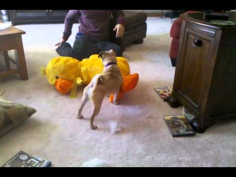 Man Teaches Dog How To Hump Toy Duck Youtube